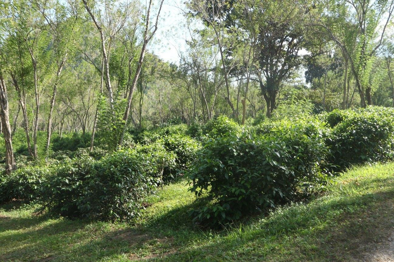 Araksa Tea Plantation